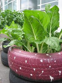 Lettuce growing in reused tyres