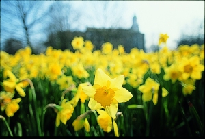 Daffodils in bloom